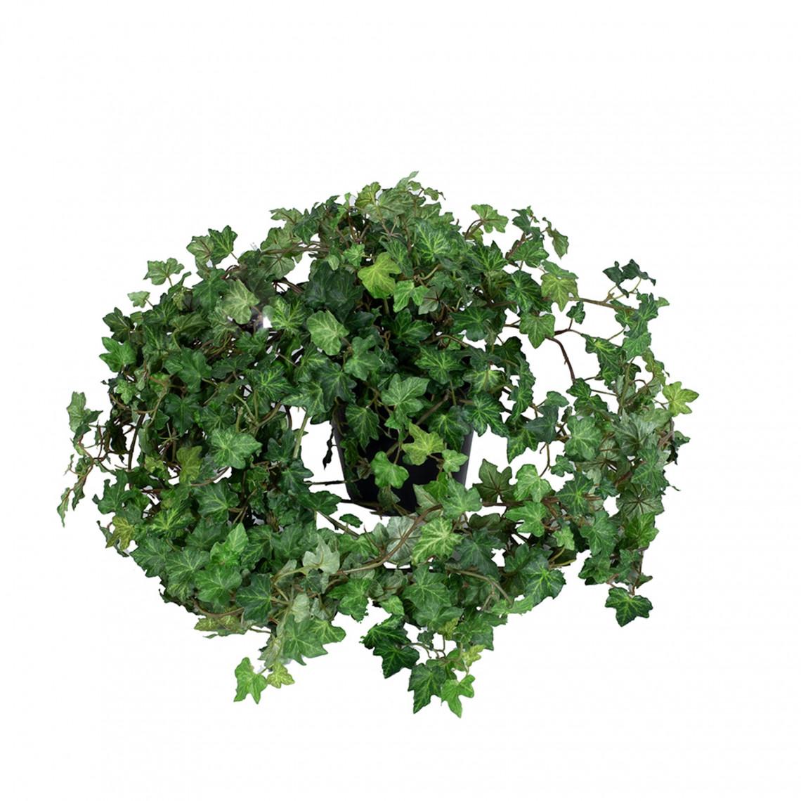 Konstväxt - Murgröna
